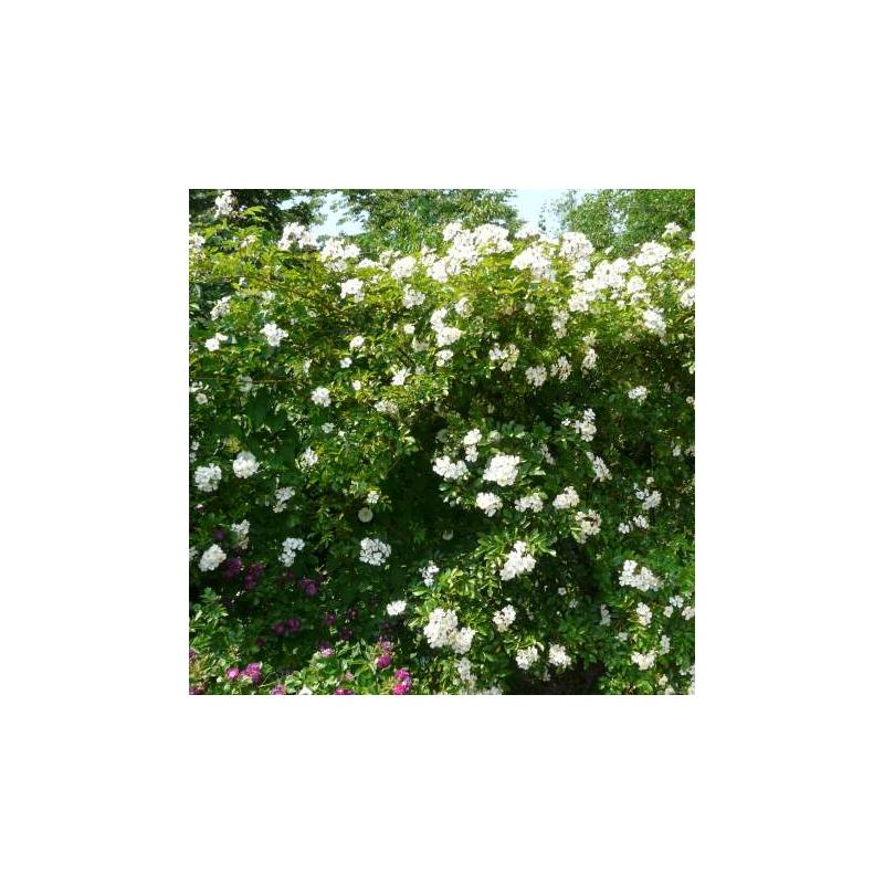 Rosa longicuspis Bertoloni