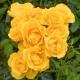 'Rayon De Soleil' ® (MEIanycid)