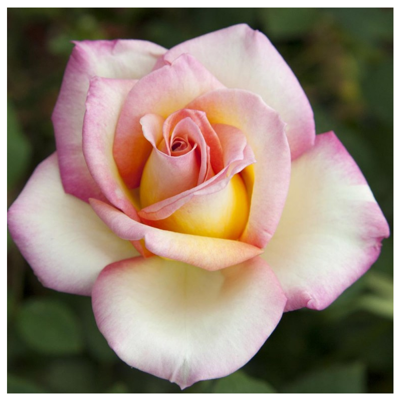sweet eureka meihozihas rosaplant