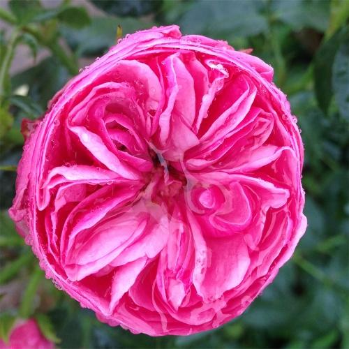 Lise Nørgaard Rose™