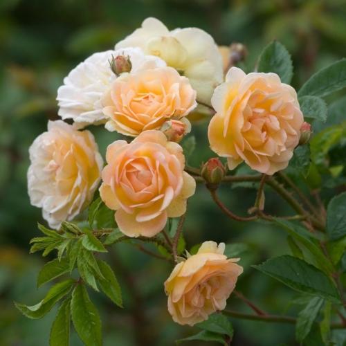 'Ghislaine de Féligonde' najlepsza róża pnąca