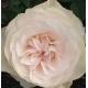 Fru Nørby róża rabatowa w stylu angielskim dostępna w sklepie rosaplant