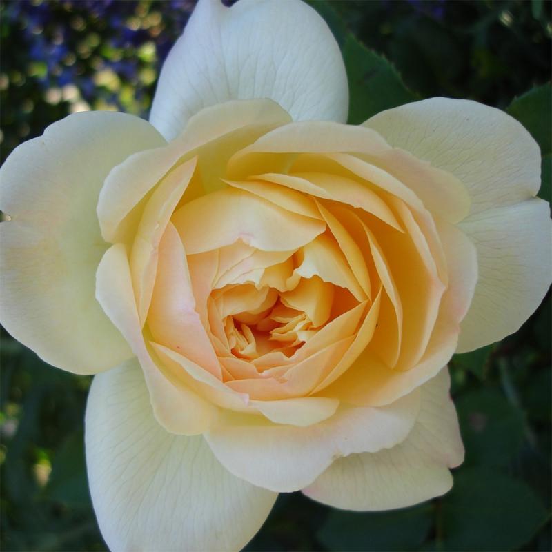 So much love™ wyjątkowa róża pnąca