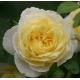 Jean Robie ® (VISmarok) - róża rabatowa w stylu angielskim