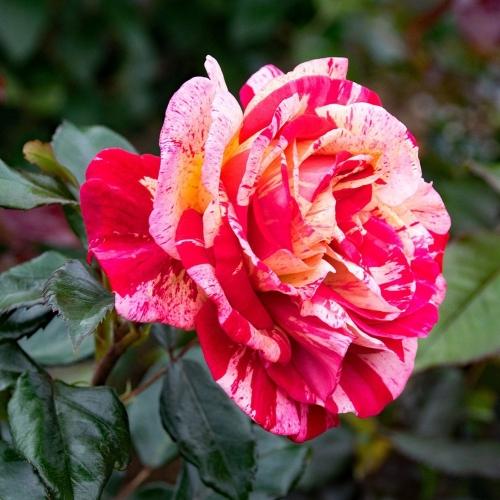 Brocéliande róża wielkokwiatowa w paski