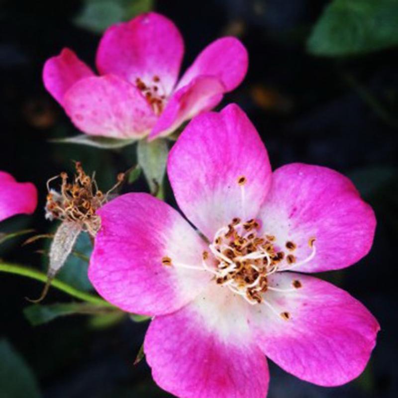 Pink Passion ® zdrowe róże Martina vissersa
