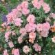 Sommerpoesie bursztnowa róża pnąca