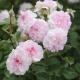 Rosemoor®  róża angielska o silnym zapachu staraych róż