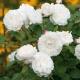 William and Catherine biała róża angielska na cześć pary książęcej