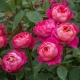 Benjamin Britten (AUSencart) purputowa róża angielska