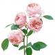 The Alnwick Rose (AUSgrab)