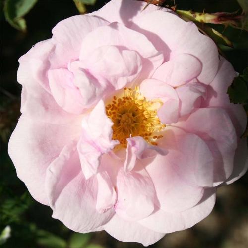 Haidee mrozoodporna róża kanadyjska