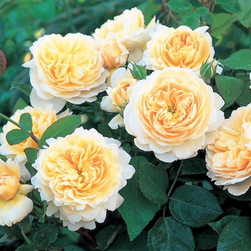 Crocus Rose (AUSquest)