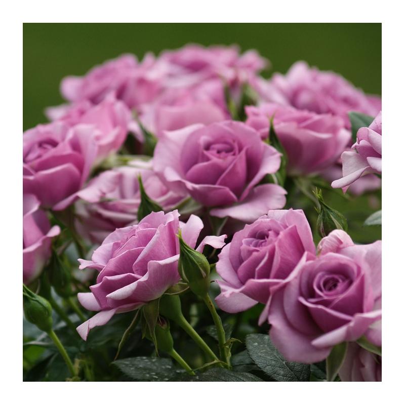 Lavender Flower Circus ®