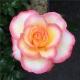 Rose de Lourdes®