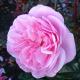 Zestaw 4 wyjątkowychh róż pnących