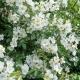 Róża wielokwiatowa  (Rosa multiflora Thunb.)