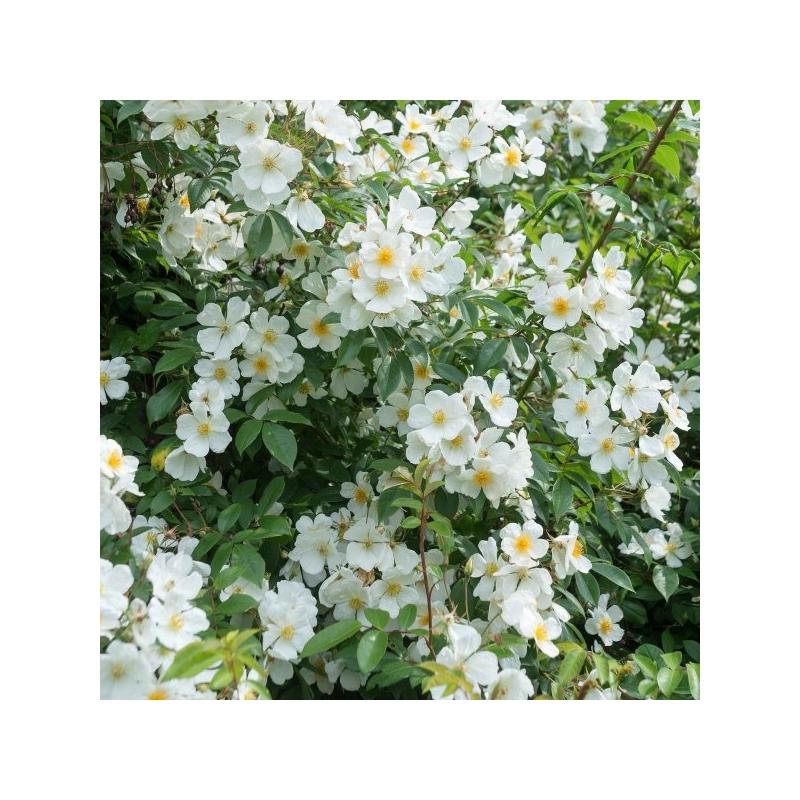Róża wielokwiatowa  (Rosa multiflora)