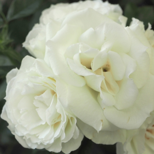Iceberg Flower Circus ®