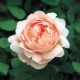 'Ambridge Rose ®'  (AUSwonder)