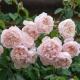 The Generous Gardener (AUSdrawn)