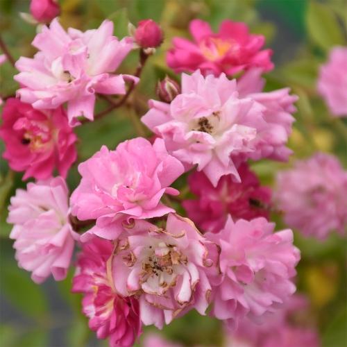 'Ruže Olivetská'