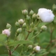Rosa multiflora 'Nana'