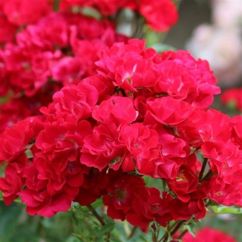 La Belle Rouge® VIScoal
