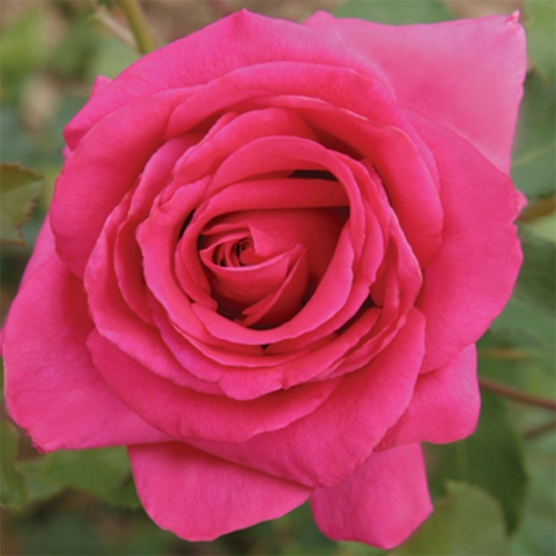 Royal Rose® SAUpacour