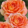 La Rose des Impressionnistes® ADAreviday