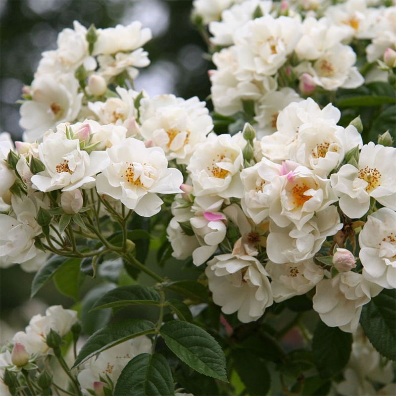White Rambler (Thalia)
