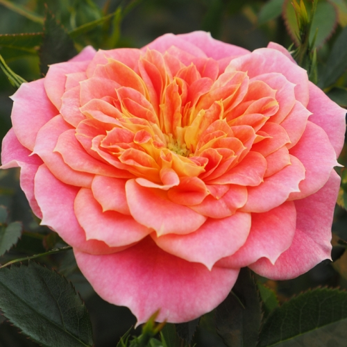 Mandarin Flower Circus®