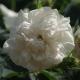 Rosa X alba 'Maxima'  (róża jakobińska)