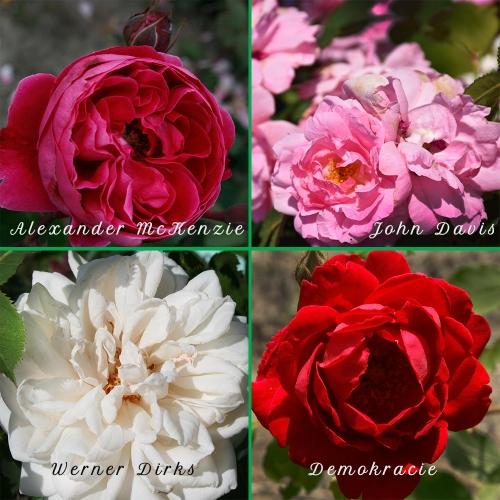 Zestaw 4 róż pnących i mrozoodpornych