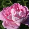 Pink Frau Karl Druschki  (George Arends)