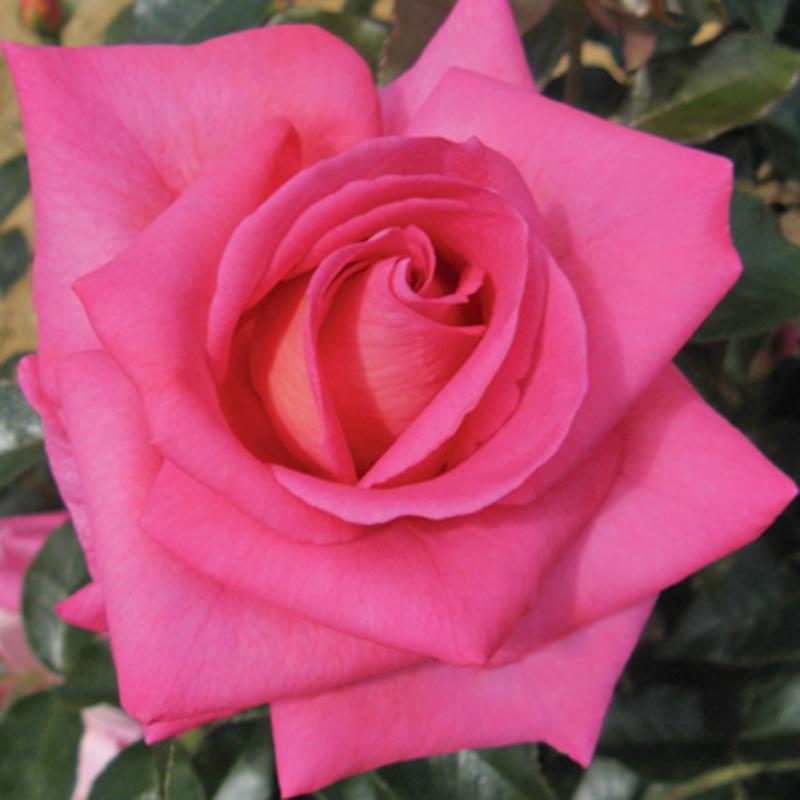 PARFUM ROYAL CLG ®  (NIRparf)