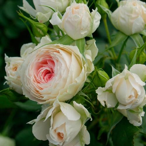 Pompon Flower Circus ®  Pashmina ®  ( KORascha)