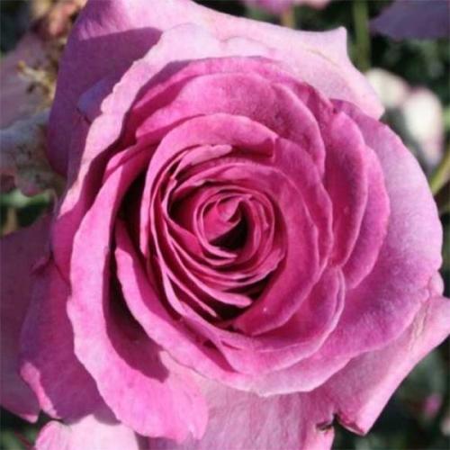 Violette Parfumée ® DORient