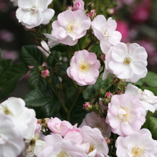 Perennial Blush  (MEHbarbie)