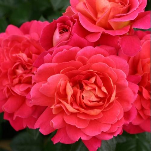Sunset Flower Circus ®