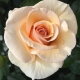 Elin's Rose™