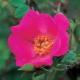 Rosa moyesii 'Highdownensis'