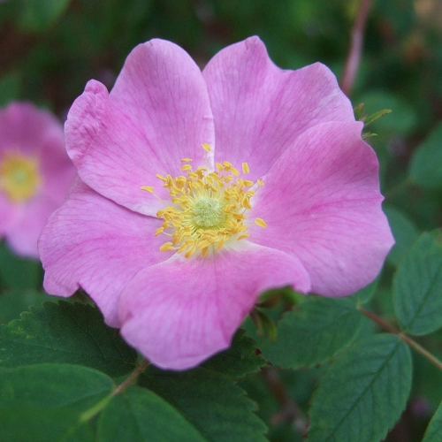Rosa acicularis 'Witaminnyj'