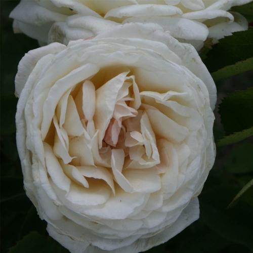 White Blush (SIEwhite)