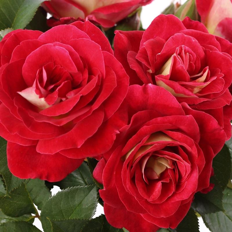 Aline Mayrisch Rose ® ORA 5007