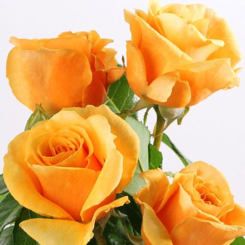 ROSE ALLEYSON ®  (Ora 295-08)