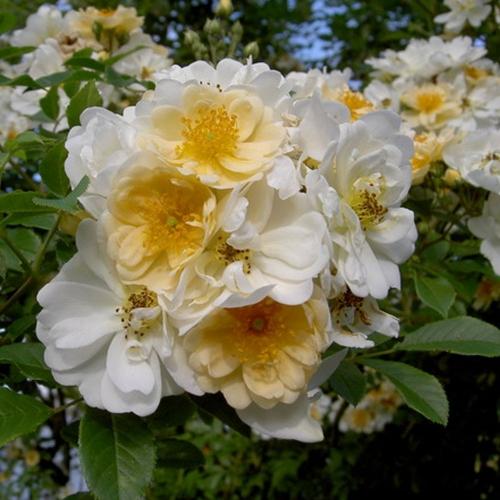 Rosa helenae 'Semiplena'