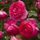 Pink Eden Rose ®  (Cyclamen Pierre de Ronsard ® )