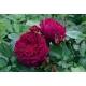 Crimson Blush (SIEson)