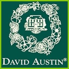 Róże angielskie Austina